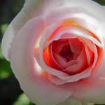 pinkrosecloseup